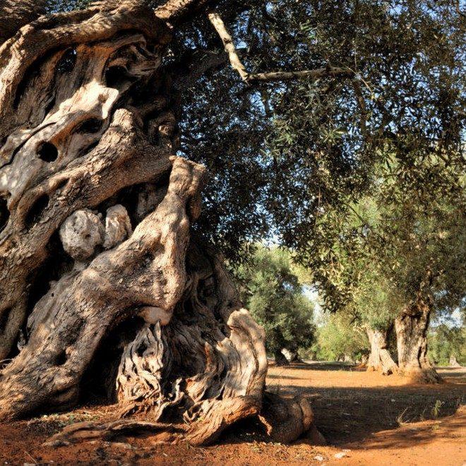 עץ איטליה